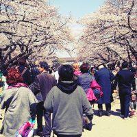 2017年4月3日上野恩賜公園の桜が満開!UenoPark Cherry blossom(Japan,Tokyo)